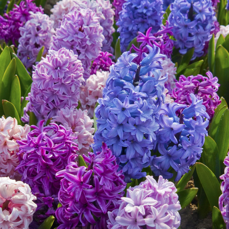 Westland seed inctime to plant spring flowering bulbs westland 1239banjalukacgc5033q 3560goldenharvestcwhl1002768q 4052etoufeeecwh7510q 6040troutlilydsc9368q izmirmasajfo