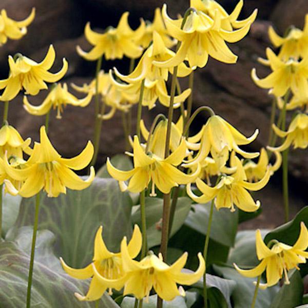 Westland seed inctime to plant spring flowering bulbs westland 1239banjalukacgc5033q 3560goldenharvestcwhl1002768q 4052etoufeeecwh7510q 6040troutlilydsc9368q planting spring flowering bulbs mightylinksfo