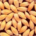 Trophy Barley Seed
