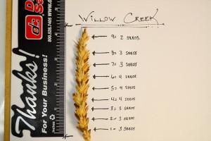 Westland Seed, Inc.Willow Creek HRW Forage Wheat ...